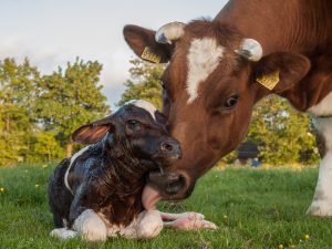 Mother cow with her newborn calf