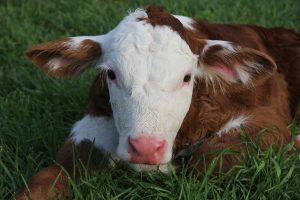 Young calf laying down