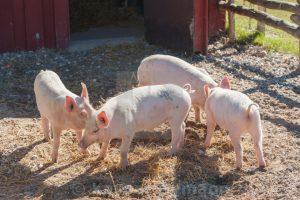 Piglets in clean pigsty