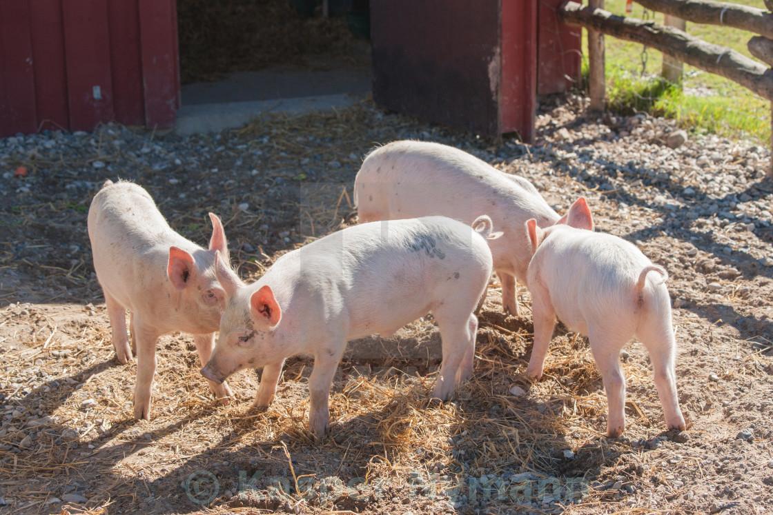 Pigsty, pig waterer