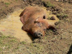 Pig wallowing