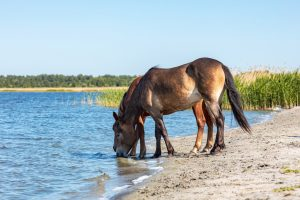 Horses drinking from a natural water source.