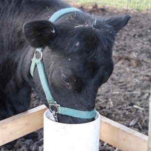 black_cow_using_automatic_cattle_waterer