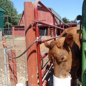 brown_cow_drinking_from_automatic_frost_free_non_electric_livestock_waterer_in_front_of_red_barn