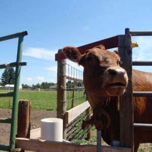 brown_cow_looking_around_next_to_livestock_waterer