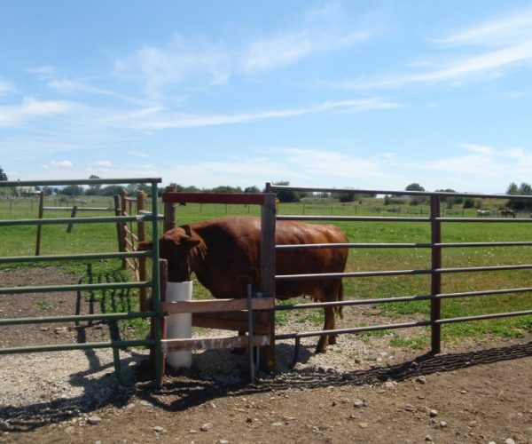 brown_cow_using_drinking_post_accessible_by_three_different_pastures