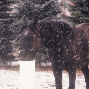 brown_horse_using_automatic_waterer_in_winter