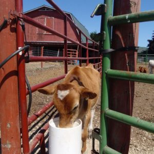 calf_using_livestock_waterer_with_red_barn_in_background
