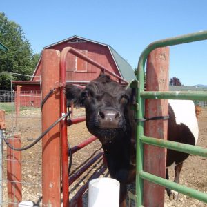 cow_enjoying_fresh_clean_water_from_non_electric_livestock_waterer