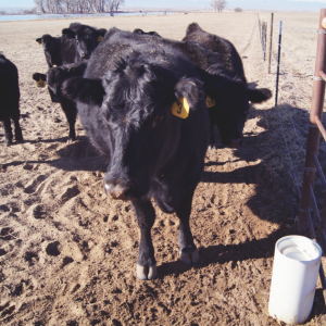 Cows training on the Drinking Post