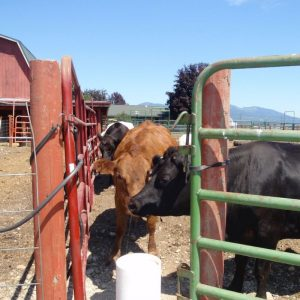cows_lining_up_to_drink_from_automatic_livestock_waterer