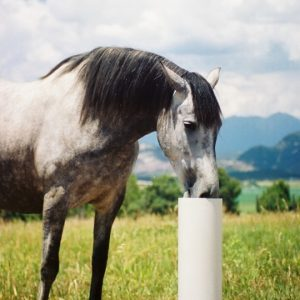 dapple_gray_horse_drinking_from_drinking_post