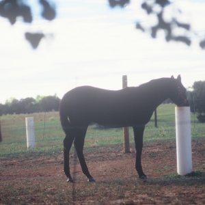 foal_using_automatic_waterer