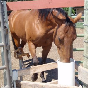light_bay_horse_having_a_cool_drink_of_water_from_automatic_frost_free_horse_waterer