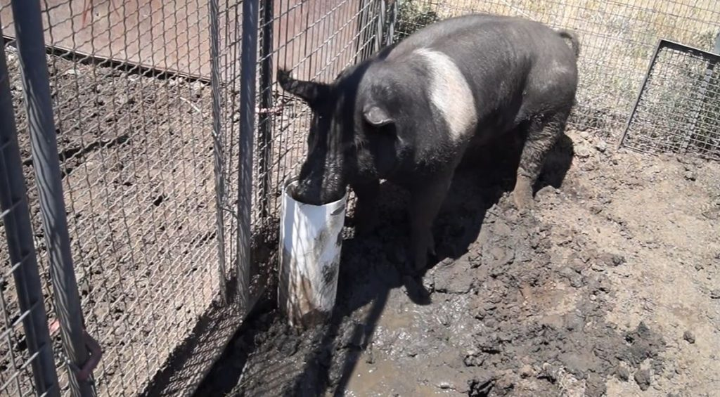 hog waterer