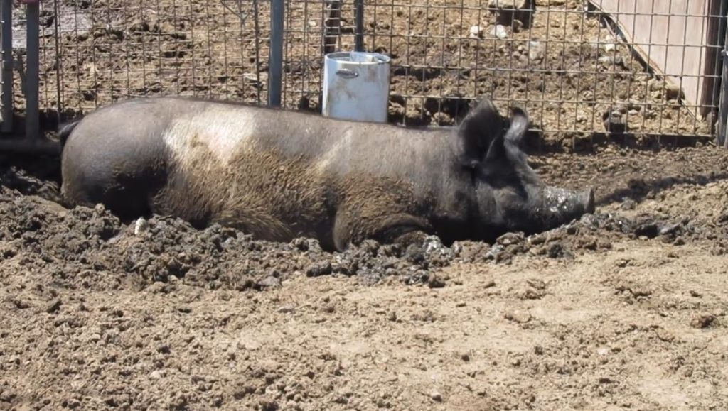 hog in mud puddle next to pig waterer
