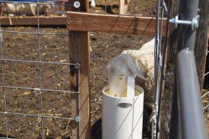 Sheep Waterer