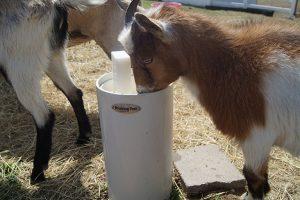 rsz_goat-1