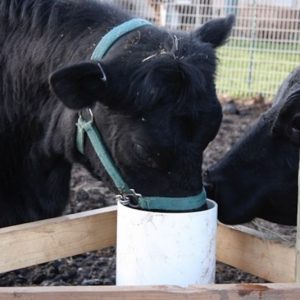 two_black_cows_taking_turn_at_automatic_frost_free_livestock_waterer