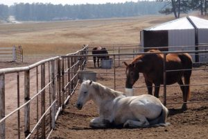 white-horse-resting-with-brown-horse-reaching-through-fence-to-take-a-drink-from-automatic-frost-free-waterer-by-drinking-post (1)