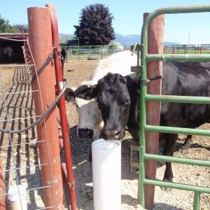white_and_black_cow_sharing_frost_free_non_electric_automatic_livestock_waterer
