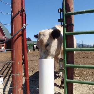 white_cow_with_black_ears_drinking_from_automatic_livestock_waterer