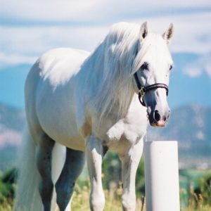 white_horse_in_field_standing_in_front_of_non_electric_horse_waterer