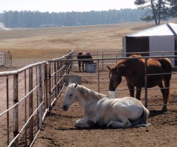 white_horse_resting_with_brown_horse_reaching_through_fence_to_take_a_drink_from_automatic_frost_free_waterer_by_drinking_post